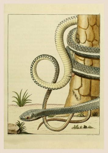 Foto do produto Pôster BLASIUS MERREN, 1790 Serpente