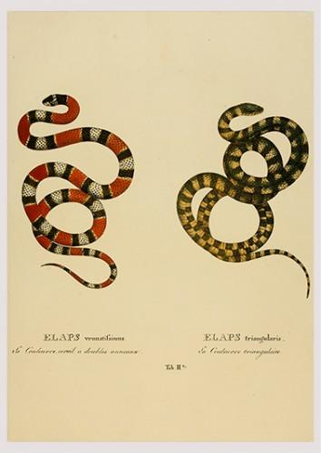 Foto do produto Pôster Serpentum Brasiliensium species novae