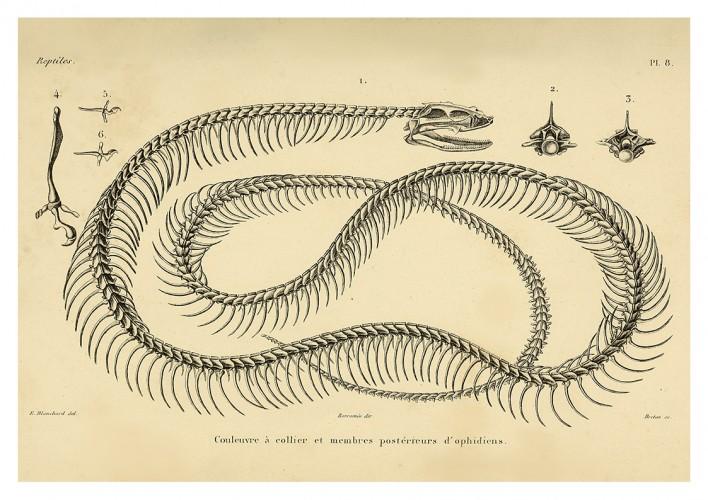 Foto do produto Pôster ERPÉTOLOGIE GÉNÉRALE - Esqueleto Serpente