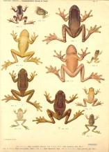 Prancha de Gymnobatrachios brasileiros, de Alípio Miranda Ribeiro (Trachycephalus)