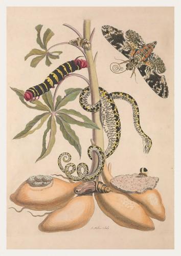 Pôster Maria Sibylla Merian (1647-1717) - Serpente