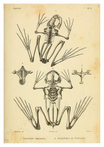 Pôster ERPÉTOLOGIE GÉNÉRALE - Esqueleto Anfíbios