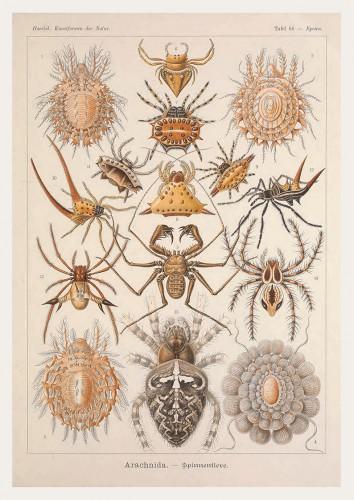 Pôster HAECKEL Aranhas