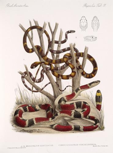 Pôster Mesopeltis multifasciatus - Henicognathus venustissimus