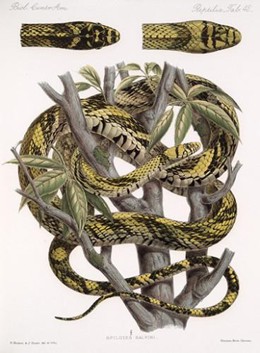 Pôster Spilotes salvini Günther, 1862 - Spilotes pullatus (Linneus, 1758)