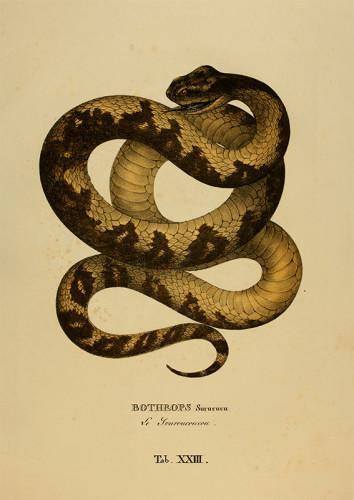 """Pôster Serpentum Brasiliensium species novae """"Bothrops Surucucu"""""""