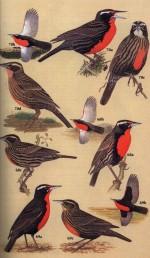 Foto do produto New World Blackbirds - The Icterids