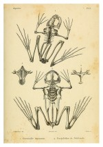 Foto do produto Pôster ERPÉTOLOGIE GÉNÉRALE - Esqueleto Anfíbios