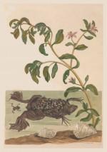 Foto do produto Pôster Maria Sibylla Merian (1647-1717) - Pipa