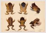 Foto do produto Pôster Gymnobatrachios - Proceratophrys